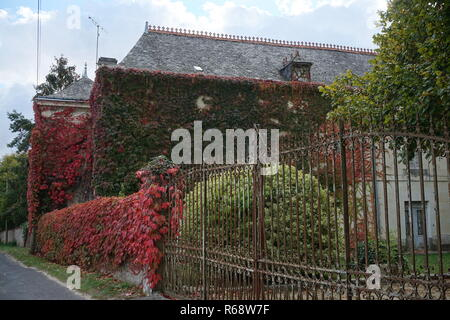 Wild ivy turning red and green on the old stone wall of a small country estate in the Loire Valley, France - Stock Photo