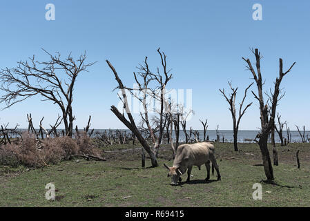 Cattle on a pasture on the shore of Lake Ngami south of the Okawango Delta in Botswana. - Stock Photo
