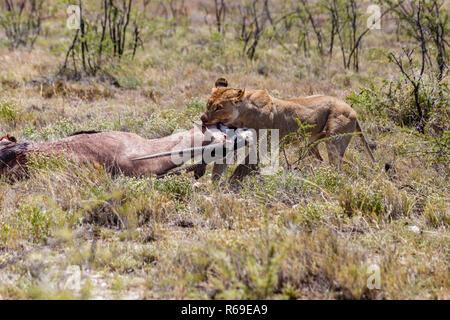 Lion With Killed Antelope, Etosha National Park, Namibia - Stock Photo