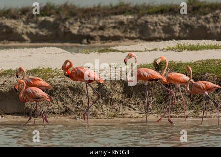 Greater Flamingo. Up to 40,000 flamingos breed at Las Coloradas between December and April, . - Stock Photo