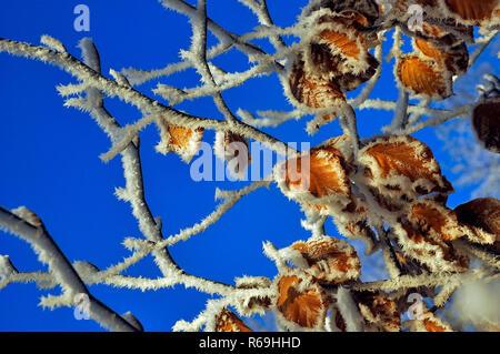 Rauhreif An Blättern Vor Blauem Himmel - Stock Photo