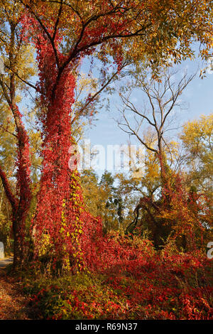 Vines on a tree, wild wine in autumn, Middle Elbe Biosphere Reserve, Dessau-Roßlau, Saxony-Anhalt, Germany