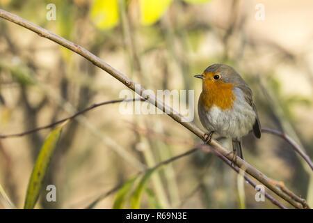 European robin (Erithacus rubecula) on branch, Hesse, Germany - Stock Photo