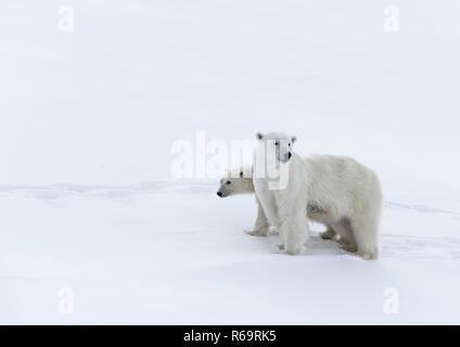 Polar bears (Ursus maritimus), mother animal and a year old (15 months) cub on snow, Unorganized Baffin, Baffin Island, Nunavut - Stock Photo