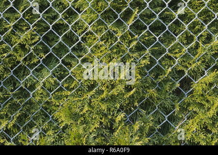 conifer hedge behind wire mesh - Stock Photo