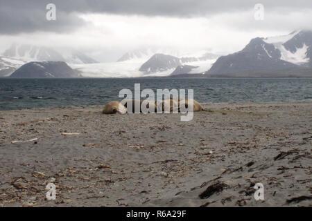 Walruses At Svalbard Coast