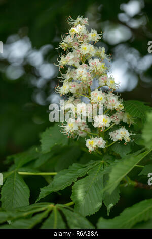 An Inflorescence Of Ordinary Horse Chestnut, Aesculus Hippocastanum - Stock Photo