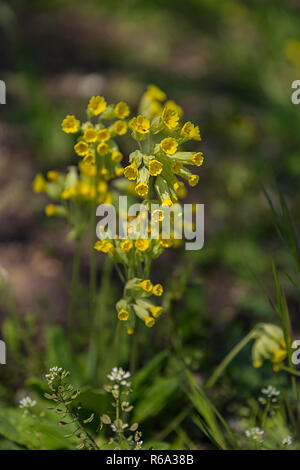 Flower 2016, Flowering Cowslip, Primula Veris - Stock Photo