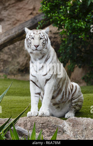 Portrait of a white tiger. The white tiger is a pigmentation variant of the Bengal tiger. - Stock Photo