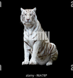 White tiger, a variant of the Bengal tiger, isolated and cutout with clippling path against a black background - Stock Photo