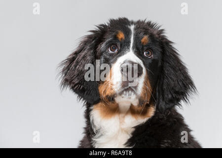 Portrait Of A Young Bernese Mountain Dog In Studio In Front Of White Background - Stock Photo