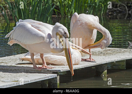 Three Pink Pelicans Also Called Pelecanus Onocrotalus Sun Themselves On A Deck At The Pond - Stock Photo