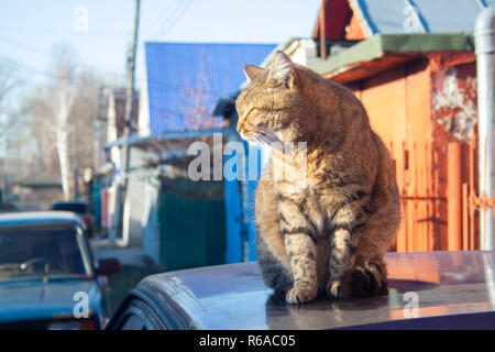 A big fluffy tabby cat sits on the roof of a car on a sunny autumn day. - Stock Photo