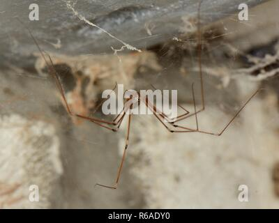 Longbodied cellar spider / Daddly longlegs spider (Pholcus phalangioides) female hanging on its web in an outhouse, Somerset, UK, October. - Stock Photo