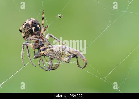 Furrow Orb weaver / Foliate spider (Larinioides cornutus) feeds on a Green drake mayfly (Ephemera danica) caught in its riverside web, Wiltshire, UK - Stock Photo