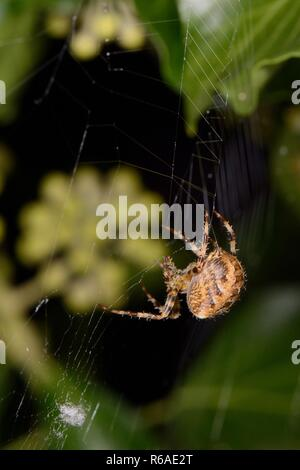 Female European garden spider / Cross orbweaver (Araneus diadematus) spinning its web on an ivy covered fence at night, Wiltshire, UK, September. - Stock Photo