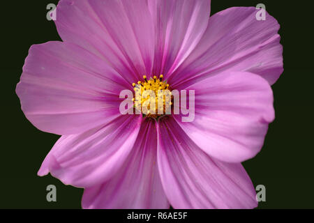 Cosmea Flower Cut Out - Stock Photo