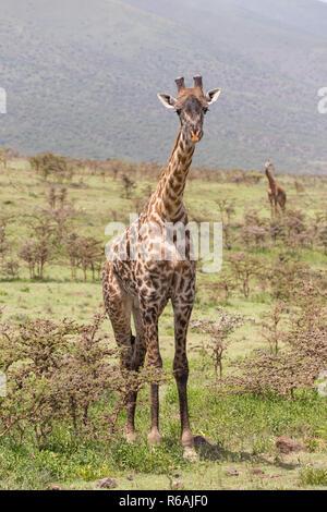 Giraffe in Amboseli national park, Kenya. - Stock Photo