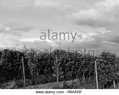 Interesting Clouds Over A Vineyard In Rhinehesse - Stock Photo