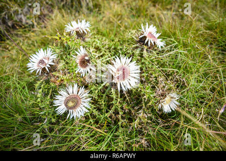 Carlina acaulis blooming in the mountains of Durmitor in Montenegro. - Stock Photo