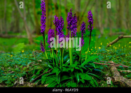 Orchid (Orchis mascula) Early purple orchid with shiny green leaves and dark spots in natural woodland setting with bluebells and Celandine. Landscape - Stock Photo