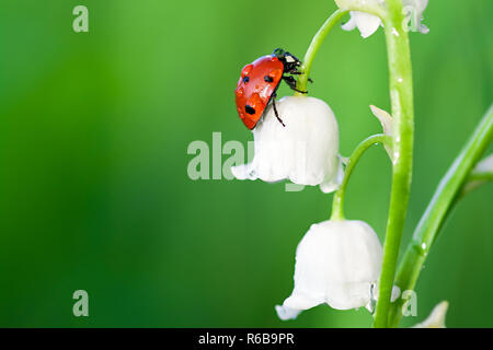 insect ladybug sits on a flower of a lily of the valley - Stock Photo