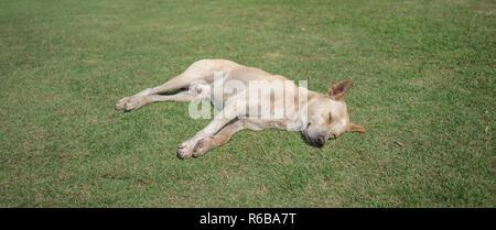 domestic thai dog sleeping - Stock Photo