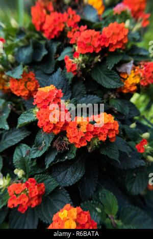 Nature flower wallpaper background red and yellow Lantana Camara also known as Big-sage, Wild-sage, Hedge Flower, Weeping Lantana, Lantana Camara Linn - Stock Photo