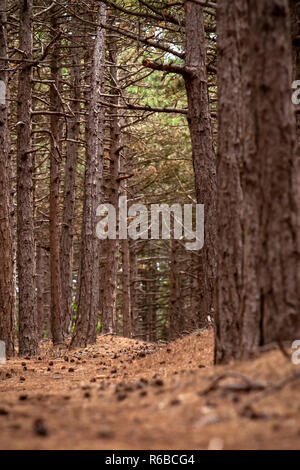 Dense forest with corsican pine trees in a dune area. National protected nature reserve with varied landscape - Stock Photo