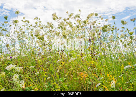 Wilde Karotten - Stock Photo
