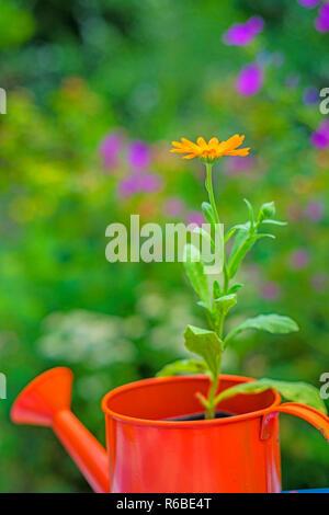 Calendula In An Ewer - Stock Photo