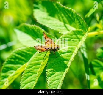 small skipper butterfly closeup - Stock Photo