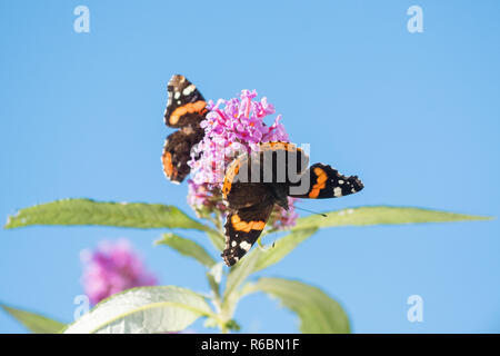 Red Admiral butterfly or Vanessa atalanta butterflies on buddleia or butterfly bush against blue sky with copy space - Scotland, UK - Stock Photo