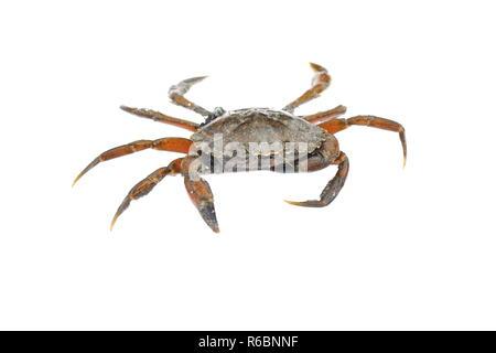 Common shore crab Carcinus maenas isolated on white - Stock Photo