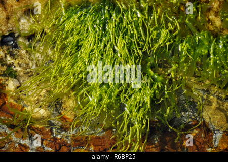 The green algae gutweed Ulva intestinalis - Stock Photo