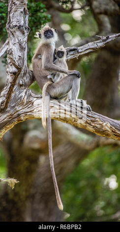 Langur with a cub sits on a tree. Tufted gray langur (Semnopithecus priam), also known as Madras gray langur, and Coromandel sacred langur. - Stock Photo