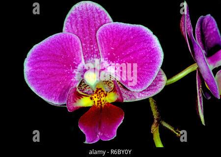 Phalaenopsis Orchidee Mit Blüte Stock Photo