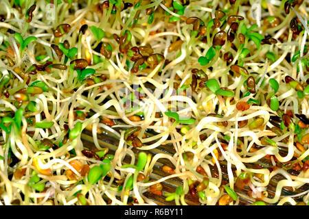Keimsprossen Von Alfalfa - Stock Photo
