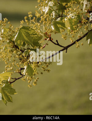Maple In Blossom And With New Green Leaves, Norway Maple, Acer Platanoides, Selz Valley, Germany - Stock Photo