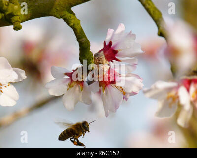 Honeybee Approaching An Almond Blossom, On The German Wine Route Near Neustadt, Pfalz - Stock Photo