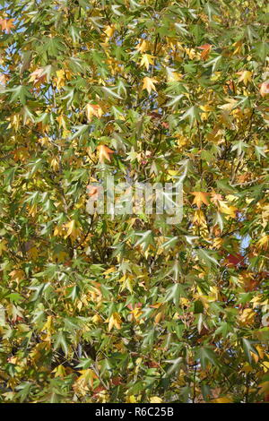 Fan Maple Acer Palmatum , Colorful Autumn Leaves On A Tree, Germany, Europe - Stock Photo