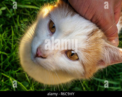 A farm cat enjoys being petted on the head - Stock Photo