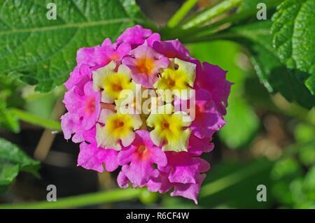 Lantana camara, the Big sage or Thickberry, family Verbenaceae - Stock Photo