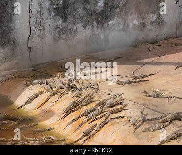 Baby crocodiles in a holding pen at a breeding facility in Cuba. - Stock Photo