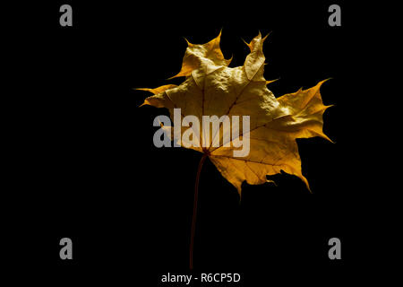 Close up of dried yellow sycamore leaf black background, space for copy - Stock Photo