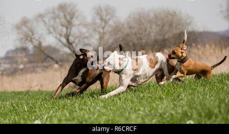 Boxers are playing outside in the meadow - Stock Photo