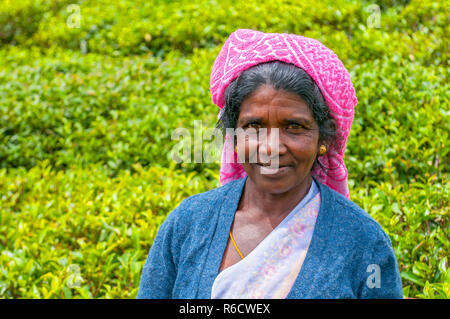 A Tamil Woman From Sri Lanka Breaks Tea Leaves On Tea Plantation With The Traditional Tea Plucking Method At Haputale, Sri Lanka - Stock Photo