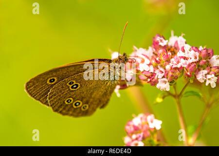 Ringlet, Aphantopus Hyperantus, On A Flower Of Oregano - Stock Photo