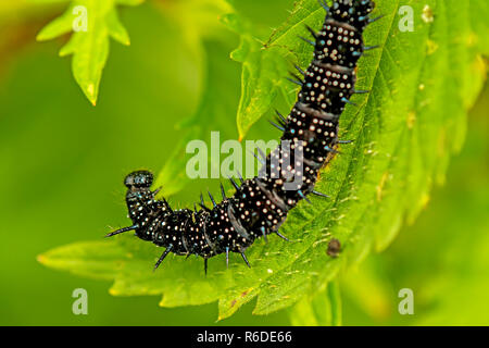 Caterpillar Of Peacock Butterfly On Stinging Nettle - Stock Photo
