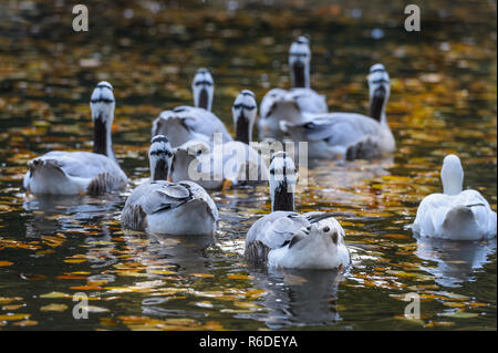 striped geese swim in the water - Stock Photo